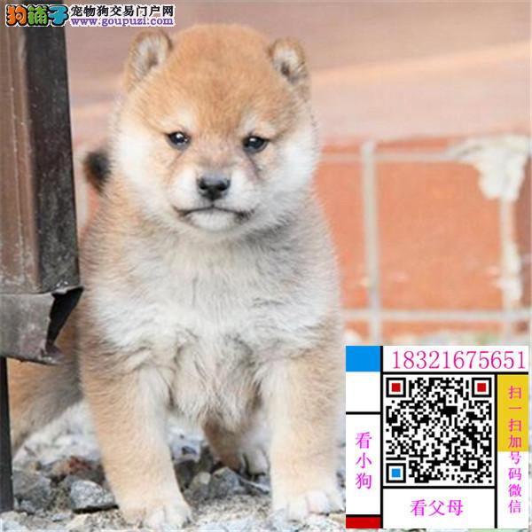 南京忠诚可靠的漂亮柴犬 个性机敏 独立 身体强健
