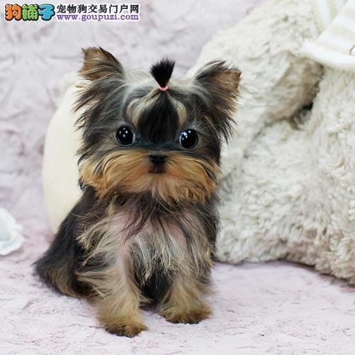 约克夏犬什么价格 约克夏犬多少钱 约克夏犬价格