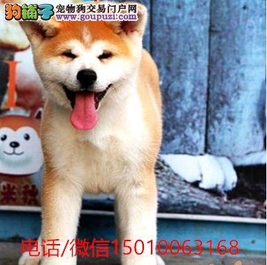 正规狗场、犬舍直销、纯种日系秋田犬、真实照片包纯种