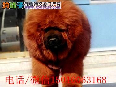 本獒园常年出售纯种大狮头藏獒幼獒可上门自选面议