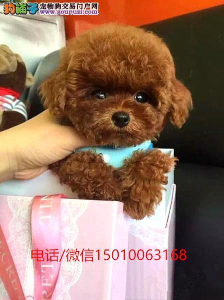 微信看狗免费送货 三个月包退包换签协议 纯种泰迪犬