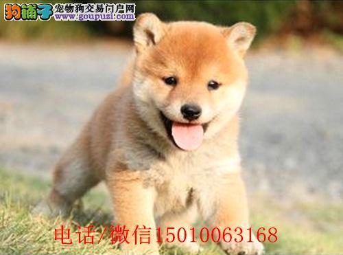 日本柴犬出售高品质柴犬幼犬可上门挑选可签订购犬合同