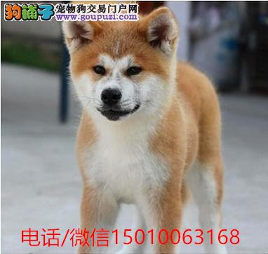 纯血日系秋田,,证书齐全,保证健康,支持上门选狗