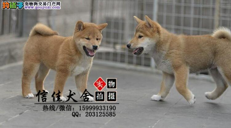 日本进口柴犬专卖 多窝小柴犬热销中 专业繁殖纯正血统