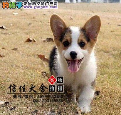 纯种顶级柯基犬、短粗腿 三色柯基 两色柯基 通风围脖