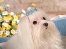赛级马尔济斯幼犬 CKU品质绝对保证 当天付款包邮