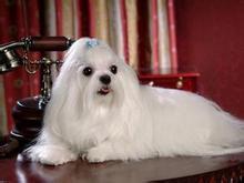 赛级品相西城马尔济斯幼犬低价出售质保协议疫苗驱虫齐全
