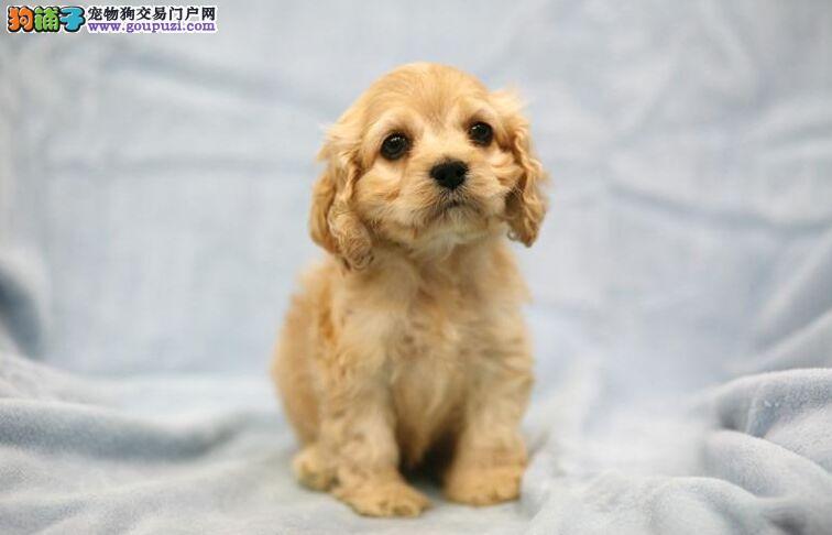 极品纯正的可卡幼犬热销中微信视频看狗