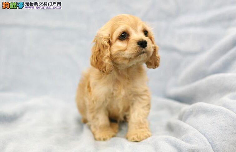 极品可卡幼犬、假一赔十纯度第一、质保全国送货