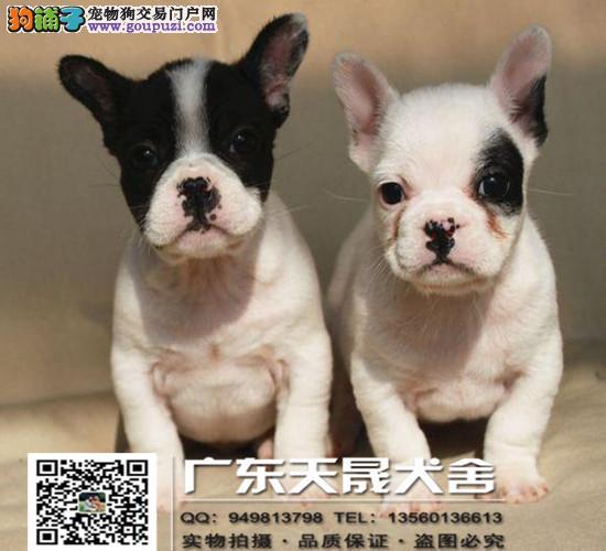 正规犬舍繁殖法斗、诚信交易、纯种法斗犬、可签协议