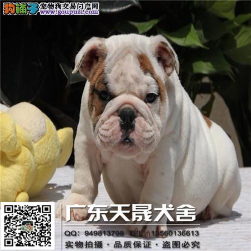 极品英国斗牛犬出售、保证纯种和健康、CKU国际认证