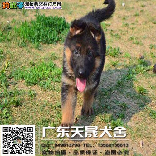 纯种狼狗、狼狗、保证纯种健康、 终身质保、饲养指导