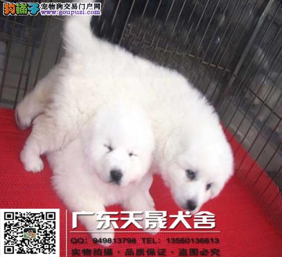 极品大白熊幼犬、体形均称、品质超好、质量终身保证