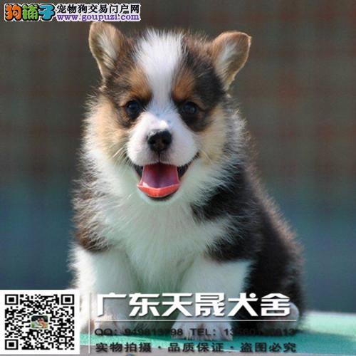 威尔士柯基犬宝宝、健康纯种、终身质保、可送货上门