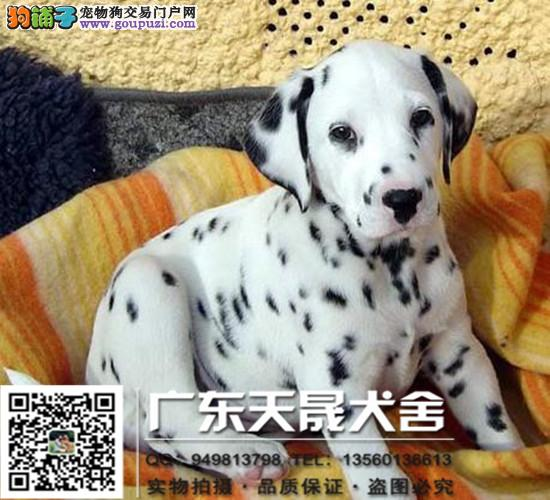 纯种斑点犬、斑点保证纯种健康 、终身质保、饲养指导