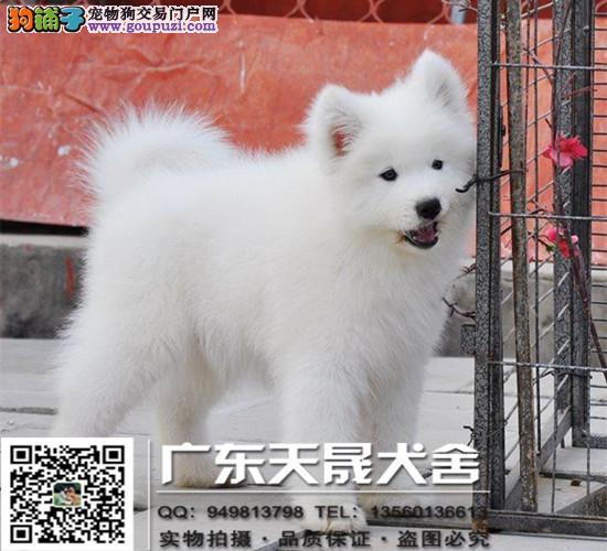 出售纯种银狐幼犬、健康有保障、售后签协议、可送货