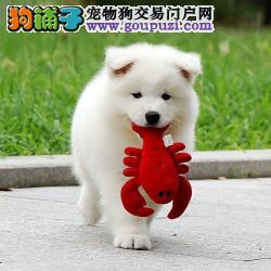 大白熊犬 特价出售大白熊幼犬 长沙大白熊宠物狗FCI