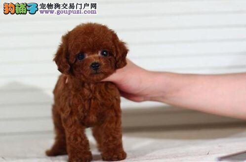 法国斗牛犬转让 长沙袖珍泰迪犬特价 小泰迪犬出售 CKU