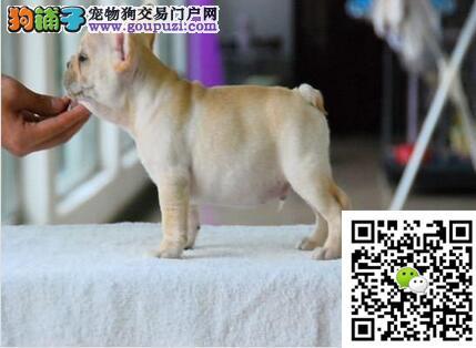极品法国斗牛犬、保障纯种和健康、十佳犬舍CKU认证