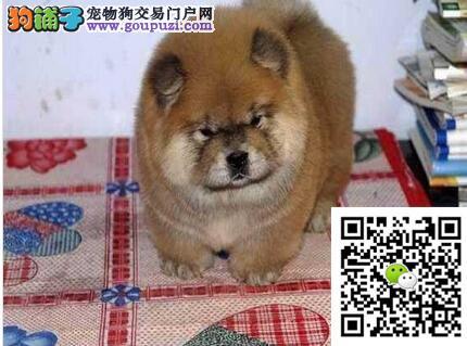 精品松狮健康纯种正规CKU犬舍出售 多只挑选 可送上门