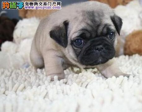 温州出售巴哥幼犬 三包售后齐全 包您放心 看见就喜欢