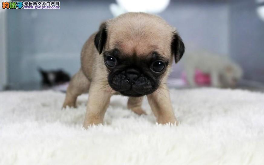 两个月大的小巴哥犬,保证健康做过免疫,欢迎选购