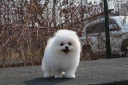 西施幼犬特价 长沙宠物基地出售各类名犬 西施犬