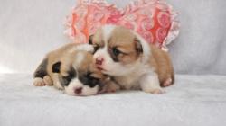 威尔士柯基幼犬特价 长沙宠物基地出售各类名犬 柯基犬