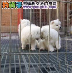 大白熊犬 大白熊幼犬 长沙出售大白熊幼犬 FCI认证