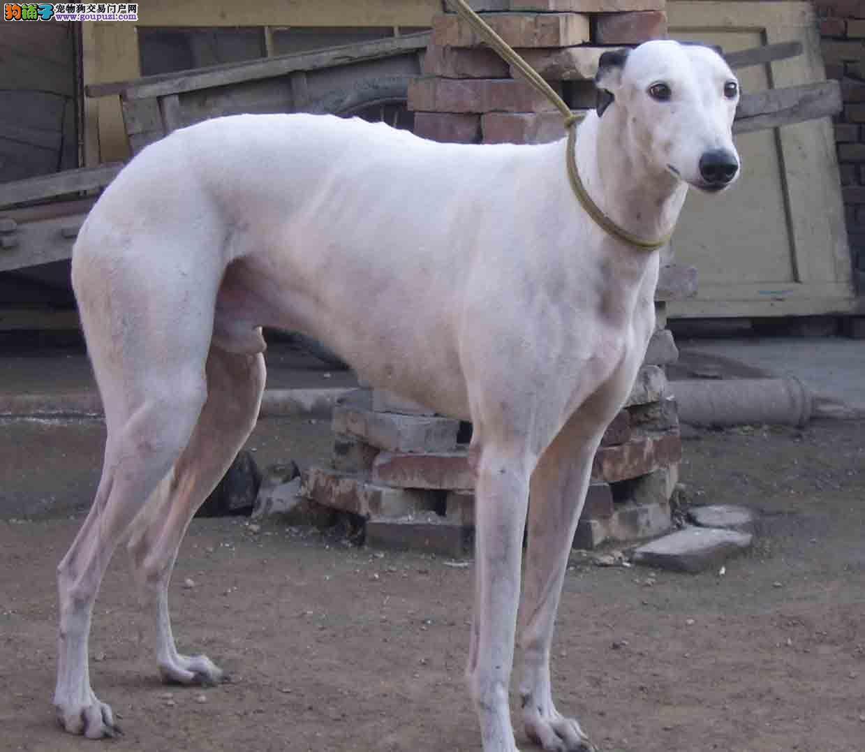 自家繁殖格力犬出售公母都有全国当天发货