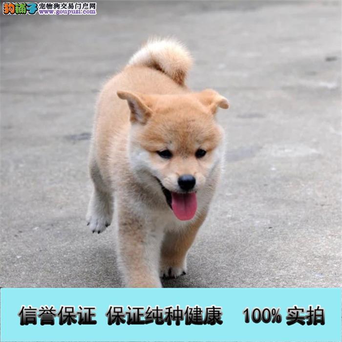 正中日系 柴犬 ,忠犬八公狗,包纯种健康可退换