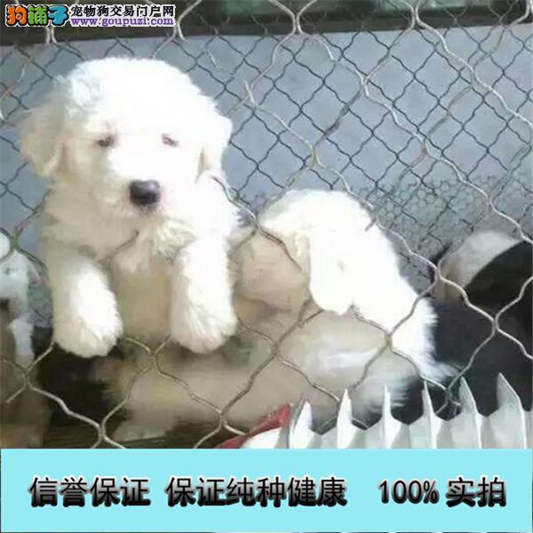 家养繁殖古牧犬白头通背双杏眼体态完美保健康包疫苗