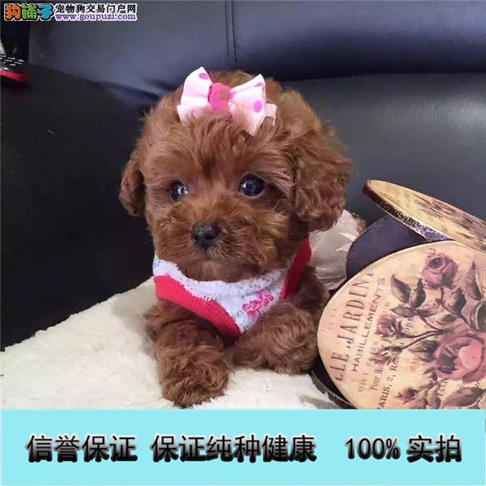 基地直销 纯种泰迪等品种幼犬 保健康 送用品