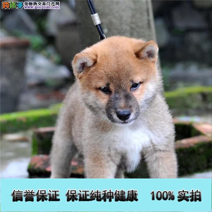 专业繁殖高品质赛级柴犬纯种健康终身质保