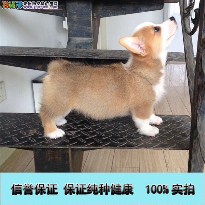 高品质纯种威尔士柯基犬幼犬宠物狗出售