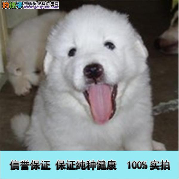 纯种大白熊出售中,公母多只可选,三个月内包退换