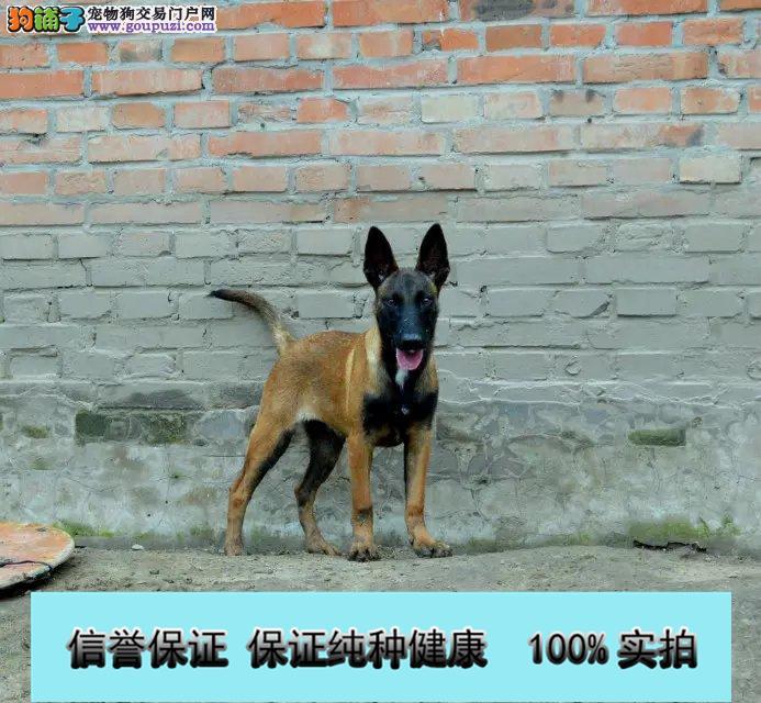 纯种高品质比利时马犬 高兴奋度 易训练