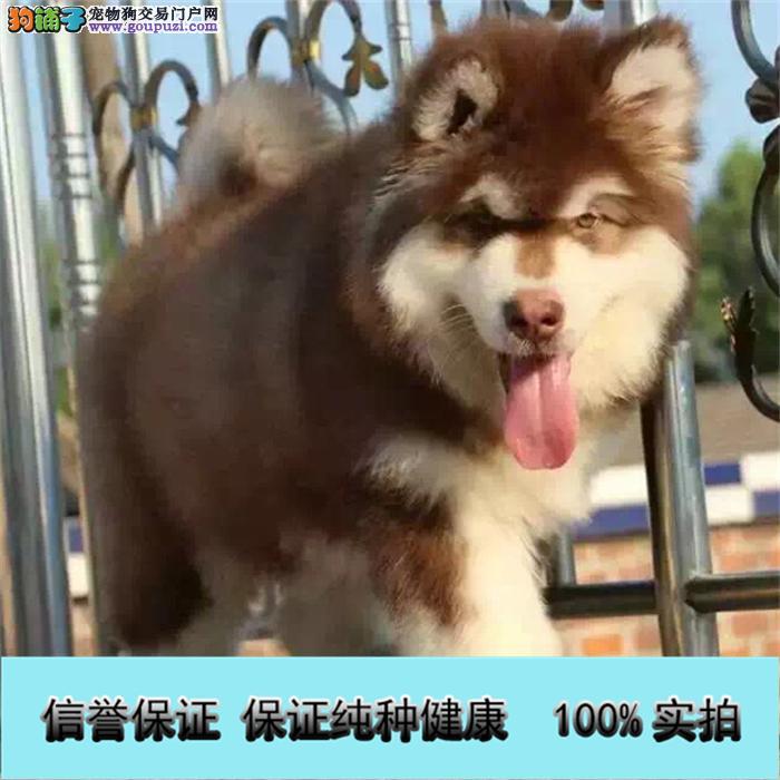 高品质巨型阿拉斯加幼犬一健康纯种包养活