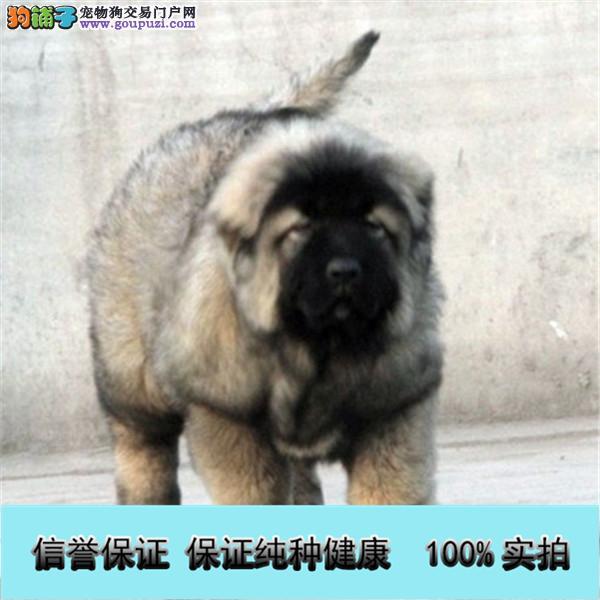 出售纯种健康熊版巨型高加索犬 打完疫苗证书齐全