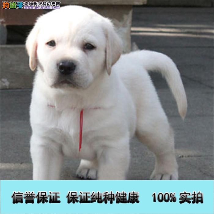 基地直销 纯种拉布拉多等品种幼犬 保健康 送用品