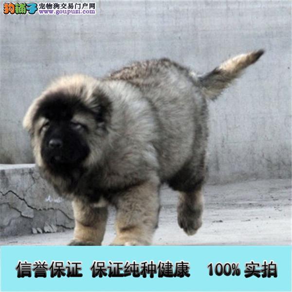 高大威猛 骨架完美的高加索护卫犬 保证纯种健康