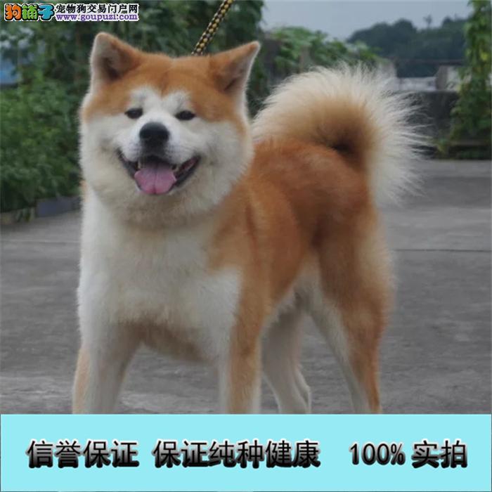 性格温顺的秋田犬找新主人 品相极佳 保证健康疫苗做完