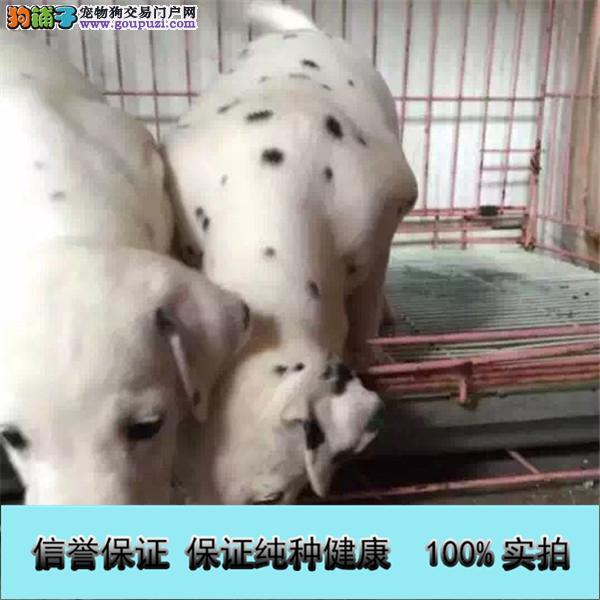 疫苗齐全送用品 签协议高品质家养斑点狗幼犬