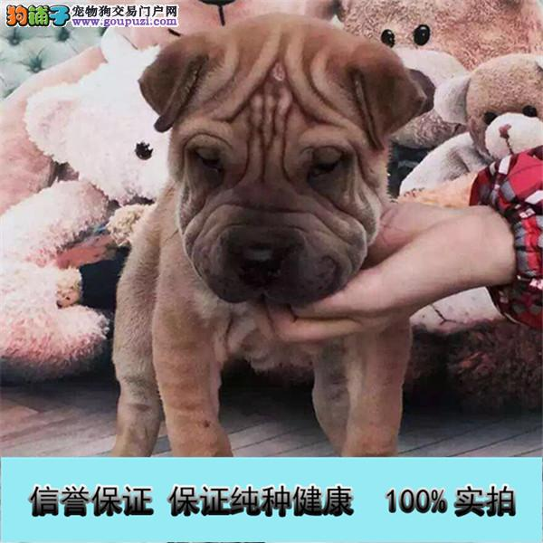 包3个月 沙皮犬幼犬出售血统纯正 皱皮沙皮狗