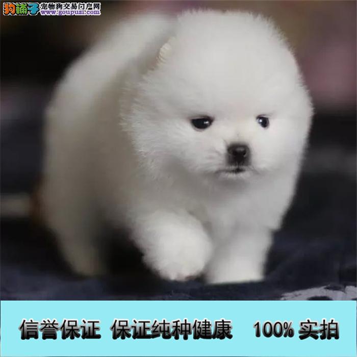 超萌日系俊介犬球体博美终身质保签订协议