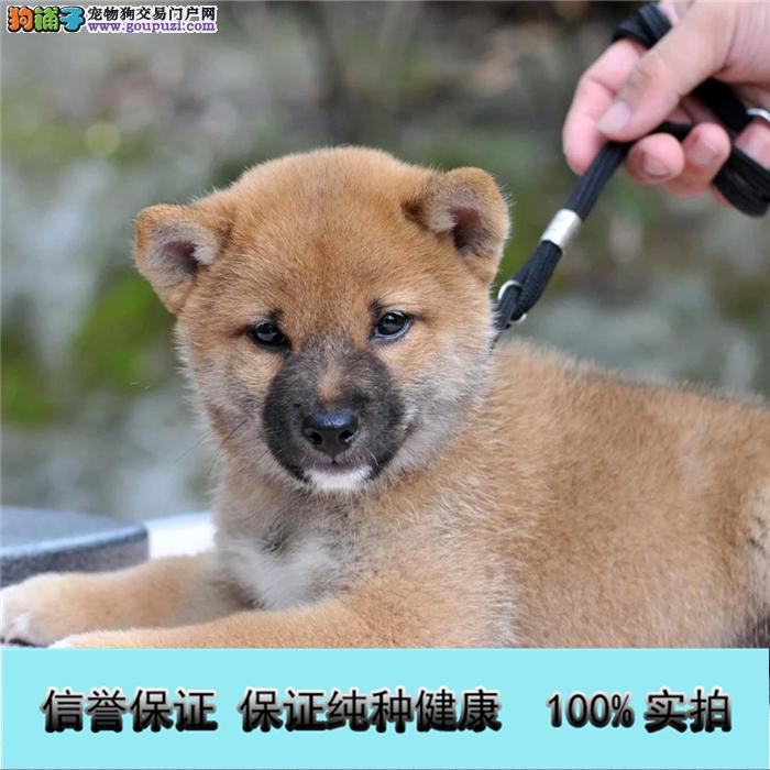 赛级日本柴犬幼犬 品相好 血统纯 疫苗驱虫做好
