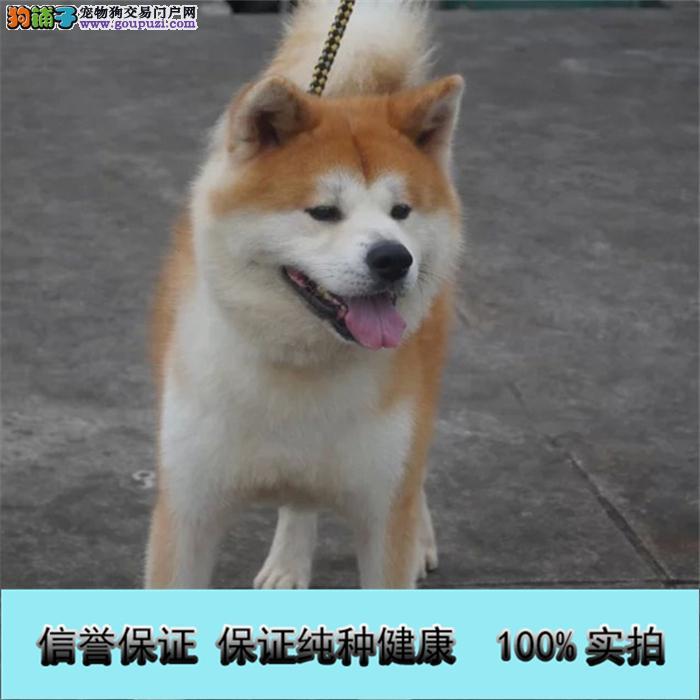 赛级秋田犬/质保三年/签协议/上海专业繁殖秋田犬