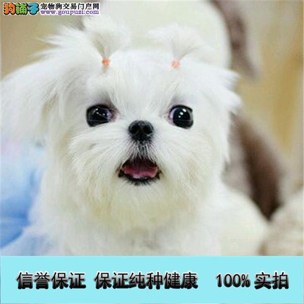 韩国引进种犬,绝对的高大尚,精品马尔济斯犬