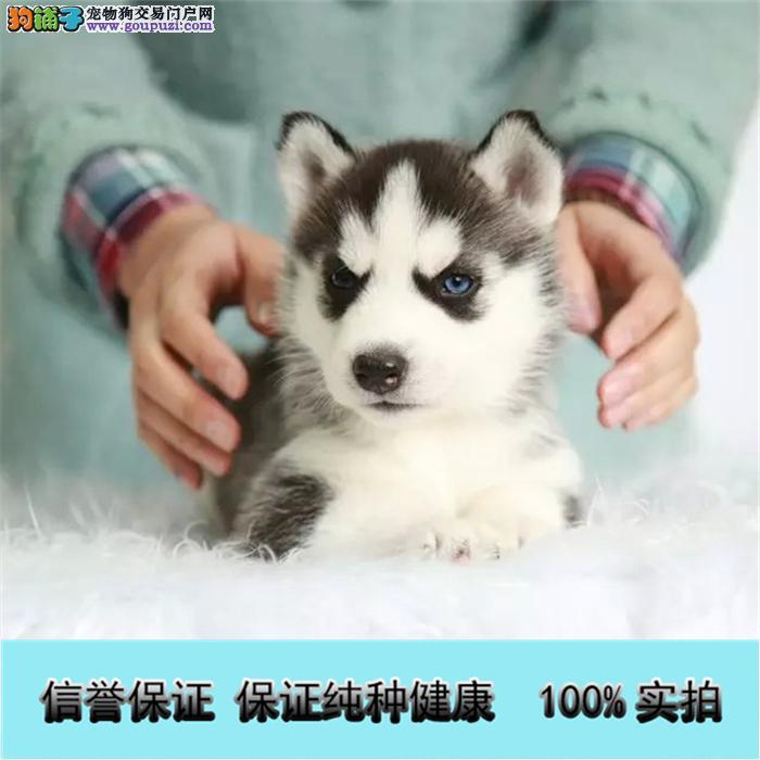 萌宠哈士奇雪橇犬 冠军品质繁育 质保终身签订协议