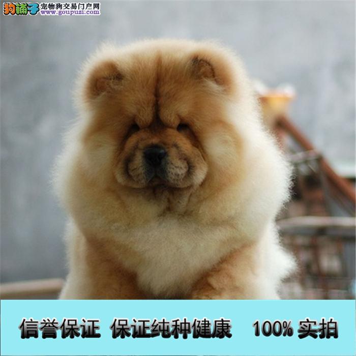 专业繁殖 纯种大头肉嘴正版松狮幼犬 签订售后质保协